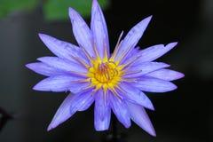 Zamyka w górę błękitnego i żółtego lotosowego kwiatu, Chiang Mai, Tajlandia obraz stock