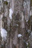 Zamyka w górę barkentyny drzewo zakrywający z mech, liszajem i śniegiem w Austriackich alps, fotografia royalty free