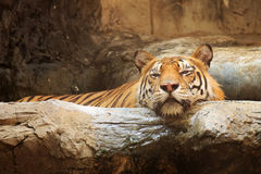 Zamyka w górę Bengalia tygrysa zdjęcie royalty free