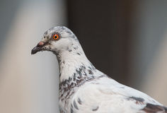 Zamyka w górę białego gołębia Zdjęcia Stock