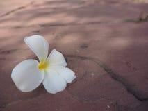 Zamyka w górę białego i żółtego plumeria na kamiennej podłoga Zdjęcia Royalty Free
