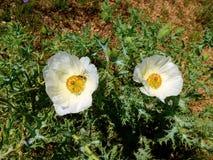 Zamyka w górę białego kłującego maczka wildflower Argemon albiflora, kwitnący w Teksas łące obrazy royalty free