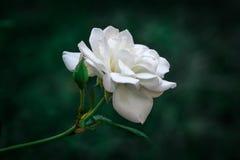 Zamyka w górę białego kwiatu tła Obrazy Stock