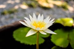 Zamyka w górę Białego Lotosowego kwiatu, natury tło zdjęcie royalty free