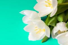 Zamyka w górę białego tulipanu na pięknym zielonym tle z odbitkowym zdrojem Obrazy Royalty Free