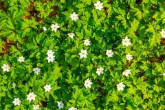 Zamyka w górę białych kwiatów i zielonej trawy tekstury odgórnego widoku Fotografia Stock