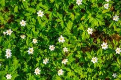 Zamyka w górę białych kwiatów i zielonej trawy tekstury odgórnego widoku Obrazy Royalty Free