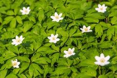 Zamyka w górę białych kwiatów i zielonej trawy tekstury odgórnego widoku Zdjęcia Royalty Free