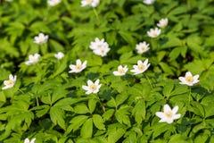 Zamyka w górę białych kwiatów i zielonej trawy tekstury odgórnego widoku Zdjęcie Stock