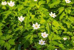 Zamyka w górę białych kwiatów i zielonej trawy tekstury odgórnego widoku Zdjęcie Royalty Free