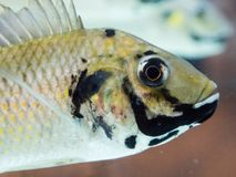 Zamyka w górę blackchin tilapia ryba Sarotherodon melanotheron dopłynięcia w rybim zbiorniku, jest afryka zachodnia gatunki cichl Zdjęcie Royalty Free
