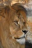 Zamyka w górę bocznego portreta męski Afrykański lew Obraz Royalty Free