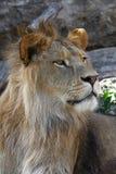 Zamyka w górę bocznego portreta młody męski Afrykański lew Obraz Royalty Free