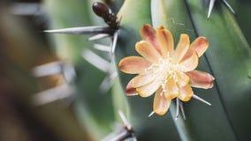 Zamyka w górę Borówczanych Kaktusowych Myrtillocactus geometrizans śmietankowych - biały kwiat; ten kaktusowy specie jest rodzimy obrazy stock