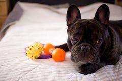 zamyka w górę brindle Francuskiego buldoga bawić się z jego zabawkami na łóżku obrazy stock