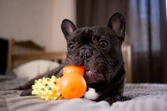 zamyka w górę brindle Francuskiego buldoga bawić się z jego zabawkami na łóżku zdjęcia royalty free