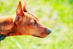 Zamyka W górę Brown Miniaturowego Pinscher Psiej głowy Fotografia Royalty Free