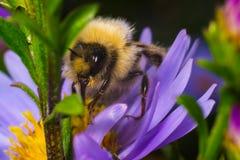 Zamyka w górę Bumblebee na kwiacie z zielonym tłem fotografia stock