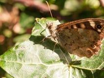 Zamyka w górę cętkowanego drewnianego motyla na liściu odpoczywa Pararge aegeria Zdjęcie Stock