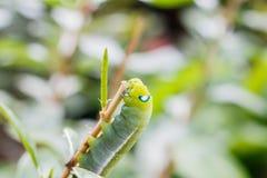Zamyka w górę Caterpillar, zielona dżdżownica je liść Obrazy Stock