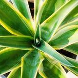 Zamyka w górę centrum agawa liść Obraz Stock