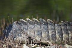 Zamyka w górę 12 cieków Amerykańskiego krokodyla Crocodylus acutus rozgrzewkowego w górę podwórko wewnątrz obraz royalty free