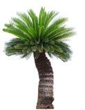 Zamyka w górę Cycad drzewka palmowego odizolowywającego na białym tła usefor gar Fotografia Royalty Free