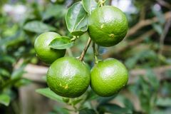 Zamyka w górę cytryny drzewa, zielony wapna drzewo Zielone wapna drzewa obwieszenia gałąź Fotografia Stock