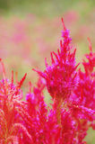 Zamyka w górę czerwonego wełna kwiatu, celozi lub Fotografia Royalty Free