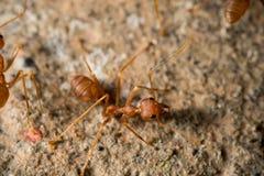 Zamyka w górę czerwonych mrówek na podłoga Zdjęcie Royalty Free