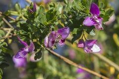 Zamyka w górę cztery Słodkiego grochu krzaka Małych Motylich kwiatów zdjęcie stock