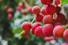 Zamyka w górę dojrzałych lychee owoc na drzewie w plantaci, Tajlandia Zdjęcia Royalty Free