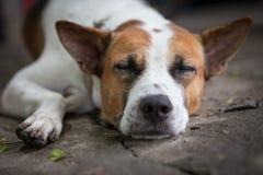 Zamyka w górę dosypianie psa obrazy stock