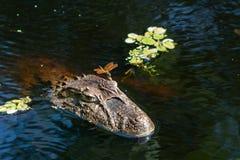 Zamyka w górę dragonfly na głowie aligaÃ'à '¡ tor Caiman latirostris Caiman Crocodilus Yacare Jacare w rive, obraz royalty free