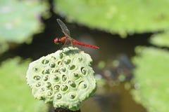 zamyka w górę Dragonfly na lotosowym kwiacie zdjęcie royalty free