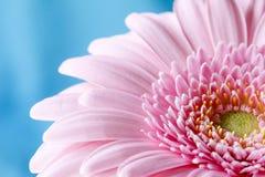 Zamyka w górę duotone wizerunku pojedynczy różowy gerbera germini fllower zdjęcie stock