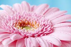 Zamyka w górę duotone wizerunku pojedynczy różowy gerbera germini fllower zdjęcia royalty free