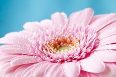Zamyka w górę duotone wizerunku pojedynczy różowy gerbera germini fllower fotografia stock