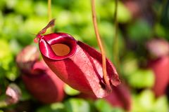 Zamyka w górę dzbanecznika tropikalnego miotacza także dzwonić rośliien lub małpuje filiżanki w rośliny pepiniery ogródu niebezpi zdjęcie royalty free