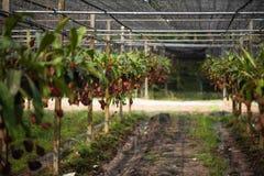 Zamyka w górę dzbanecznika tropikalnego miotacza także dzwonić rośliien lub małpuje filiżanki w rośliny pepiniery ogródu gospodar obraz stock