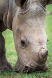 Zamyka w górę dziecko bielu nosorożec zdjęcie stock