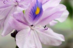 Zamyka W górę Eichhornia crassipes kwiatu zdjęcia royalty free