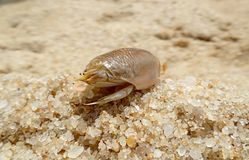 Zamyka w górę Eremita Brasiliensis, brazylijski Crustacean w piasku plaża Obrazy Royalty Free