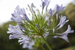 Zamyka w górę fiołkowego agapantu africanus kwiatu Obraz Stock