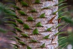 Zamyka w górę fotografia seansu szczegółu bagażnika, korowatych i wiecznozielonych liście małpiej łamigłówki drzewo, zdjęcie stock