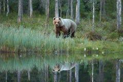 Zamyka w górę fotografii dziki, duży Brown niedźwiedź, Ursus arctos, odbija w wodzie obraz stock