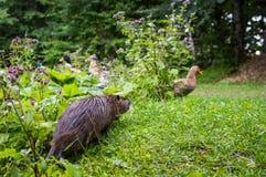Zamyka w górę fotografii nutrie także nazwany bobroszczur lub rzeczny szczur, przeciw zielonemu tłu Obrazy Stock