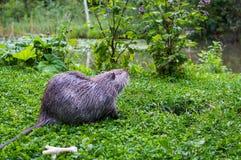 Zamyka w górę fotografii nutrie także nazwany bobroszczur lub rzeczny szczur, przeciw zielonemu tłu Fotografia Stock
