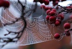 Zamyka w górę fotografii pająka ` s sieć z rosa kroplami wiesza od czerwonej krab jabłoni w jesieni zdjęcie stock