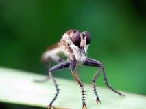 Zamyka w górę fotografii rabuś komarnica Zdjęcia Stock